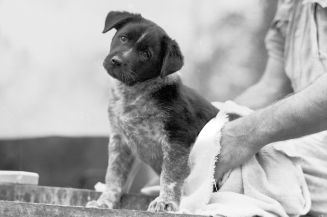 Australian_Cattle_Dog_puppy_mascot