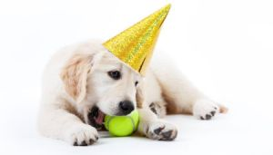Golden retriever puppy with tennis ball and a hat
